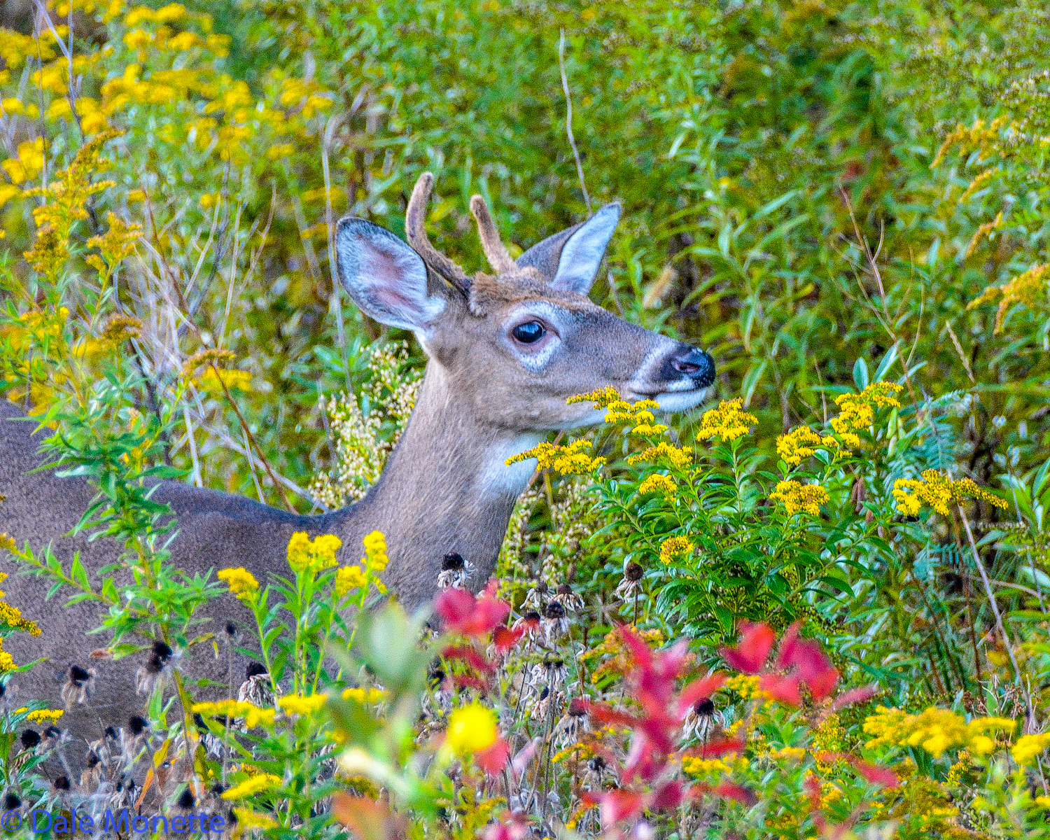 It turned out to be a young spike horn buck. A few minutes down the road I spotted him 20 feet from me in a flower patch.