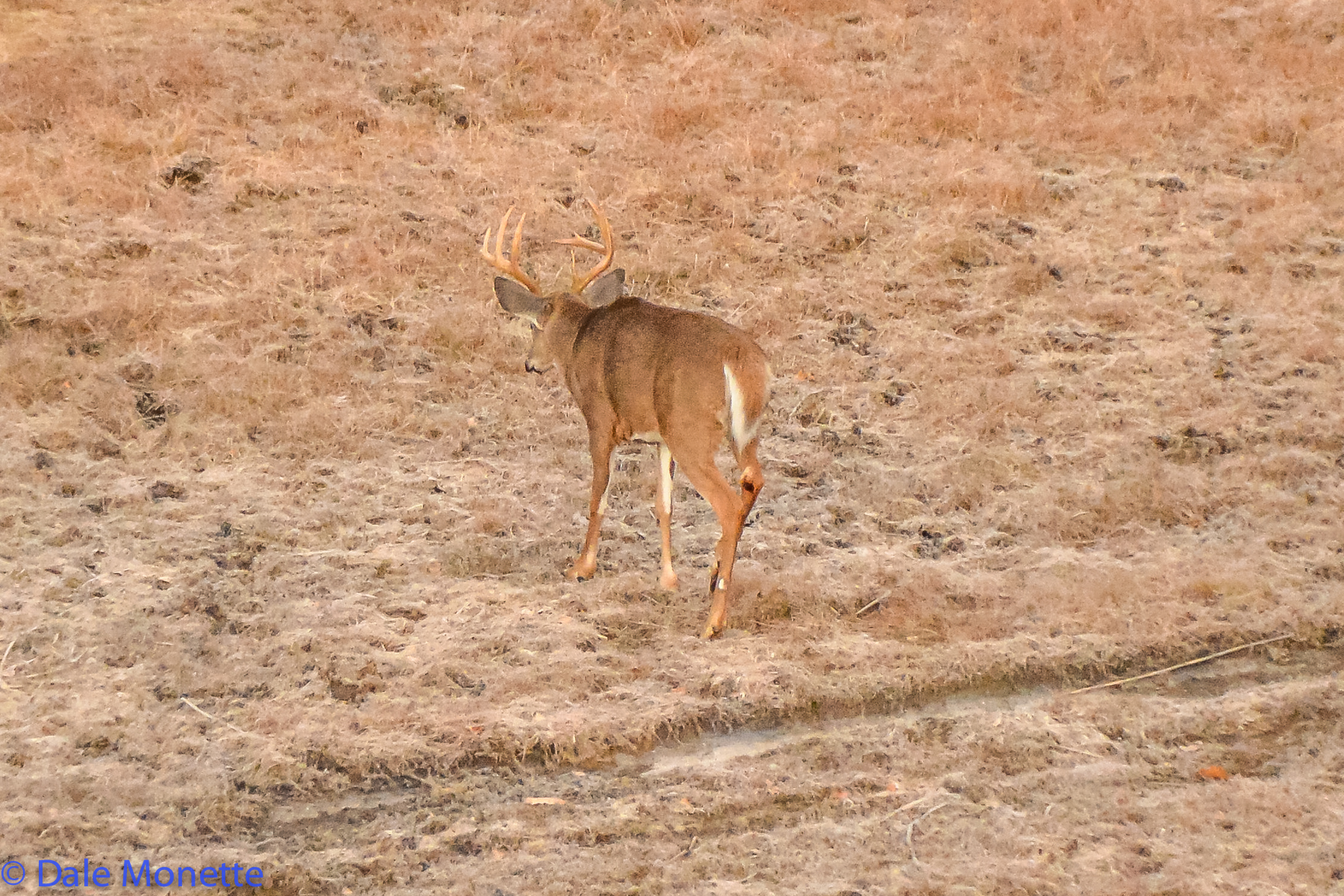 I was perched on a ridge when this ten point buck wandered in front of me in the late fall.