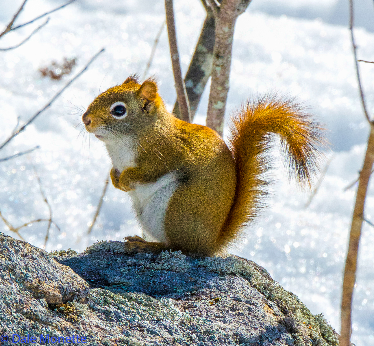 Red squirrels are very common and can be heard chattering everywhere around Quabbin where there are pine and spruce trees.