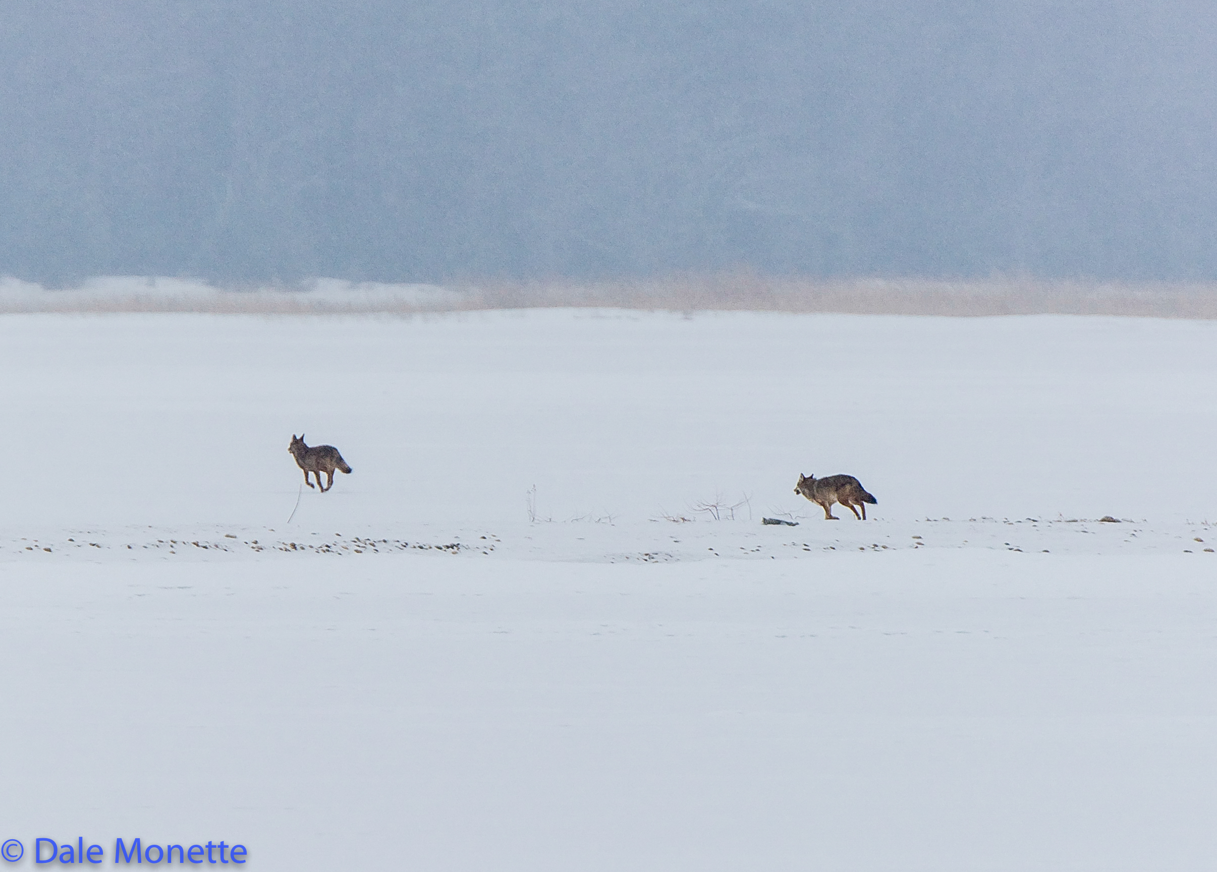 A pair of coyotes take off running through a snow storm across the ice at Quabbin.