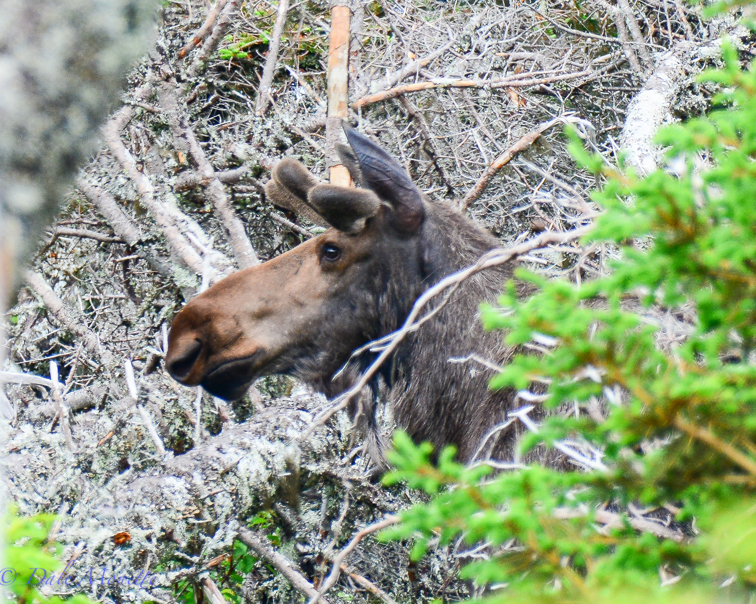 Mid June and the antlers are already growing on the bulls.