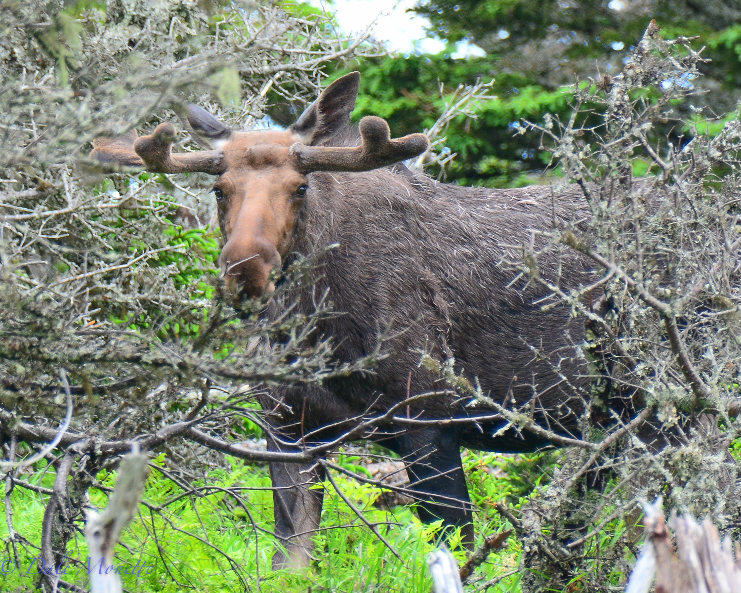 Another bull watching me cautiously.  Thanks for telephoto lenses !!