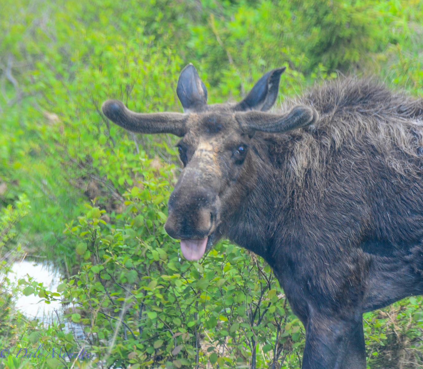 Cape Breton Island moose