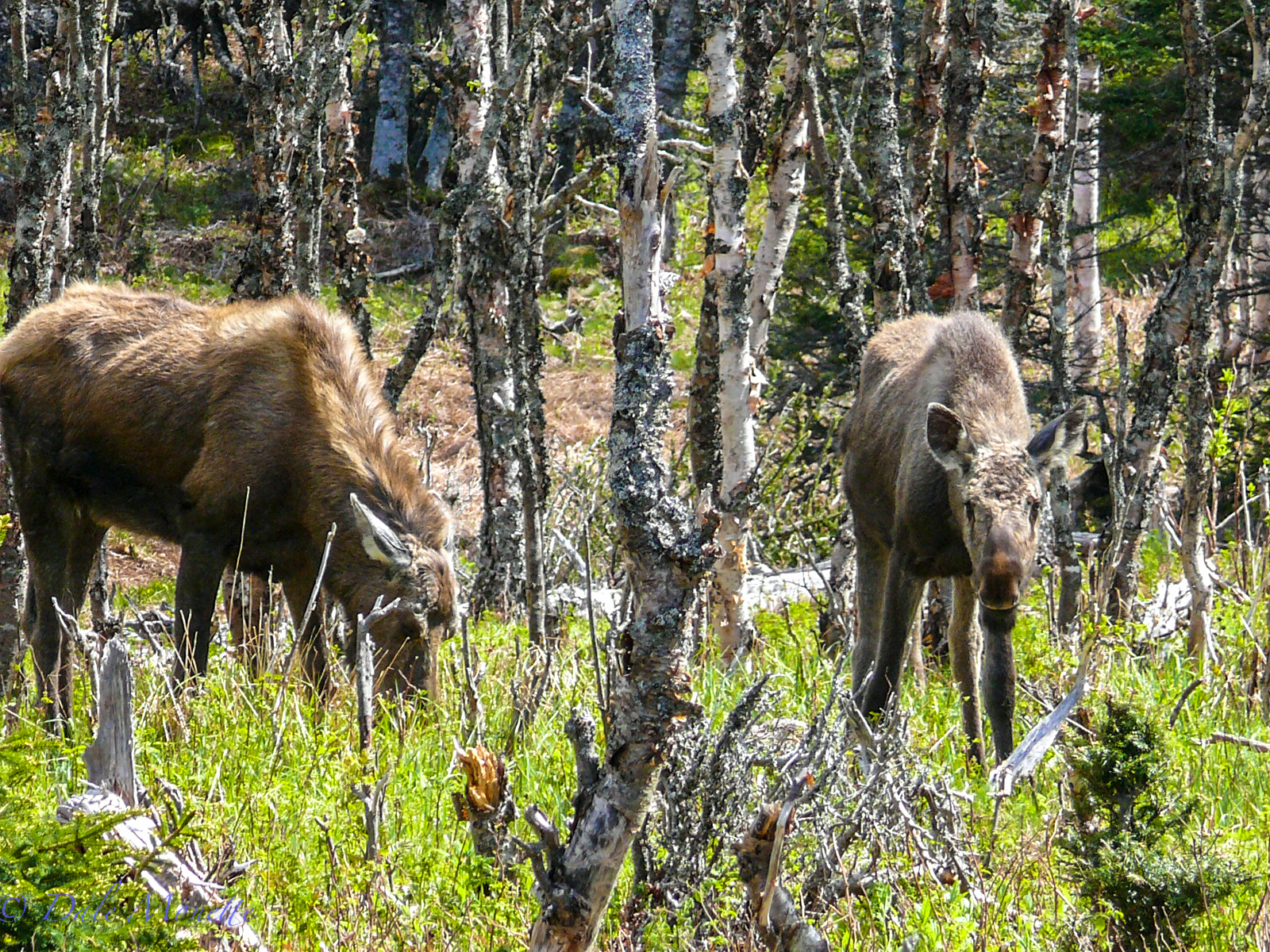 A female with a young one in the spring about 60 yards off the Skyline Trail. You never know when you will see a moose there.