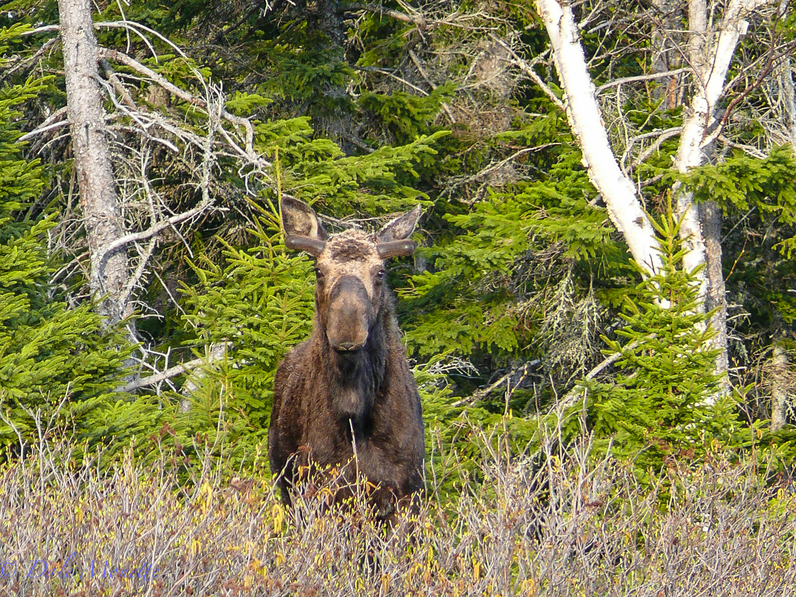 All these moose photos you will see were taken in The Cape Breton Highlands National Park on Cape Breton Island, Nova Scotia, Canada Enjoy them as I had a blast photographing them.