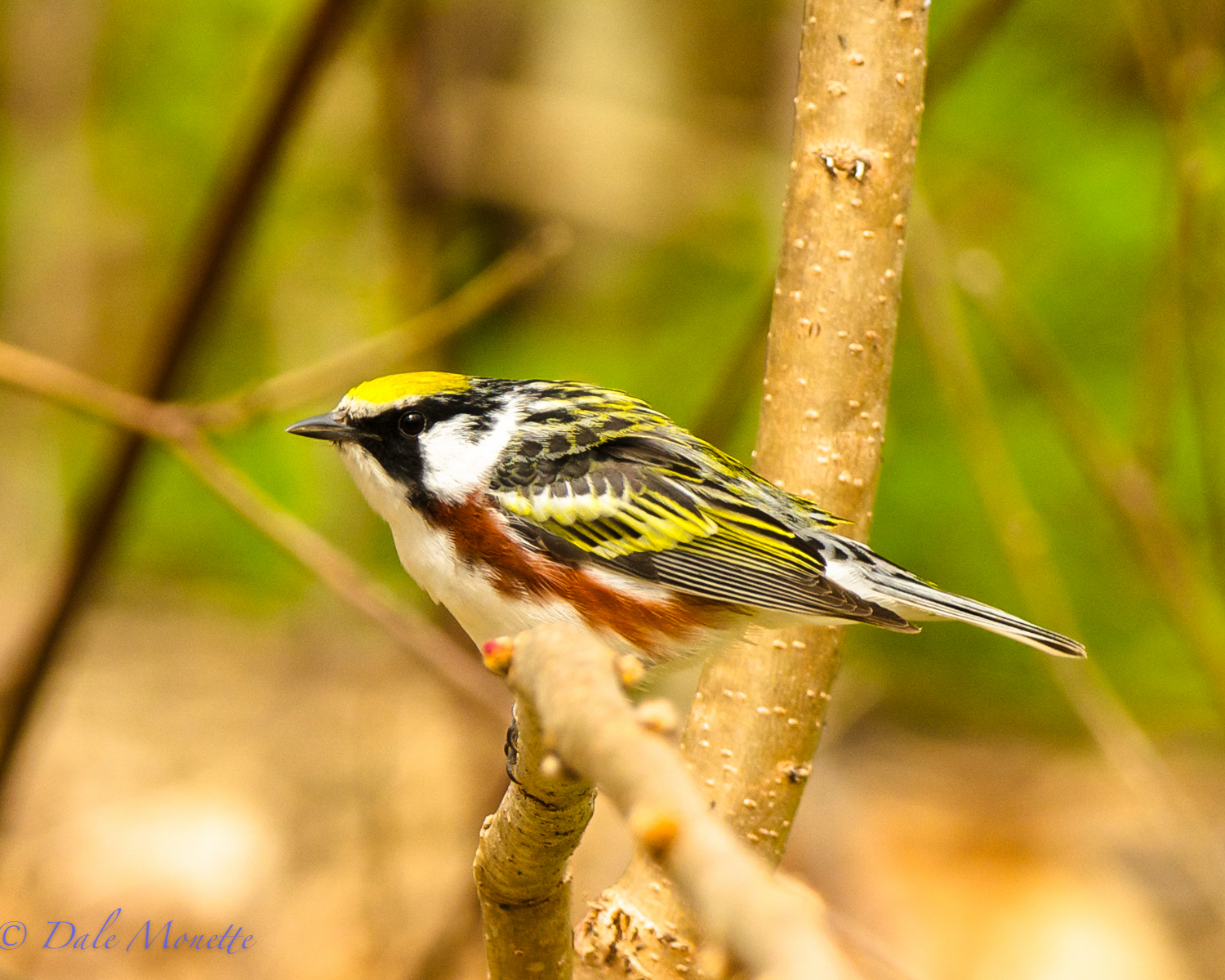 Chestnut sided warbler (male)
