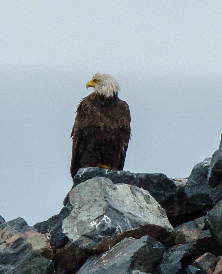 Nova Scotia soaking wet eagle