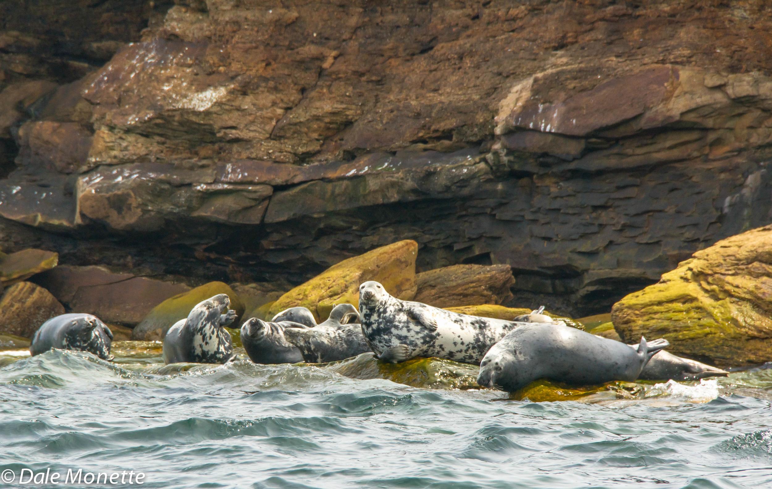male grey seals