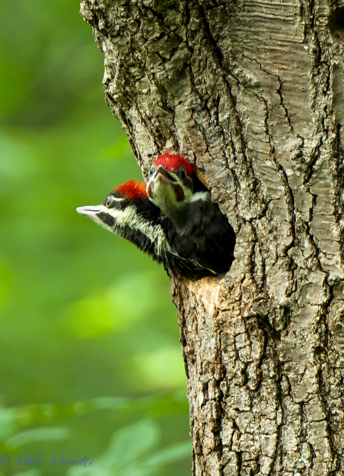 The female pileated chick on the left and the male is on the right.