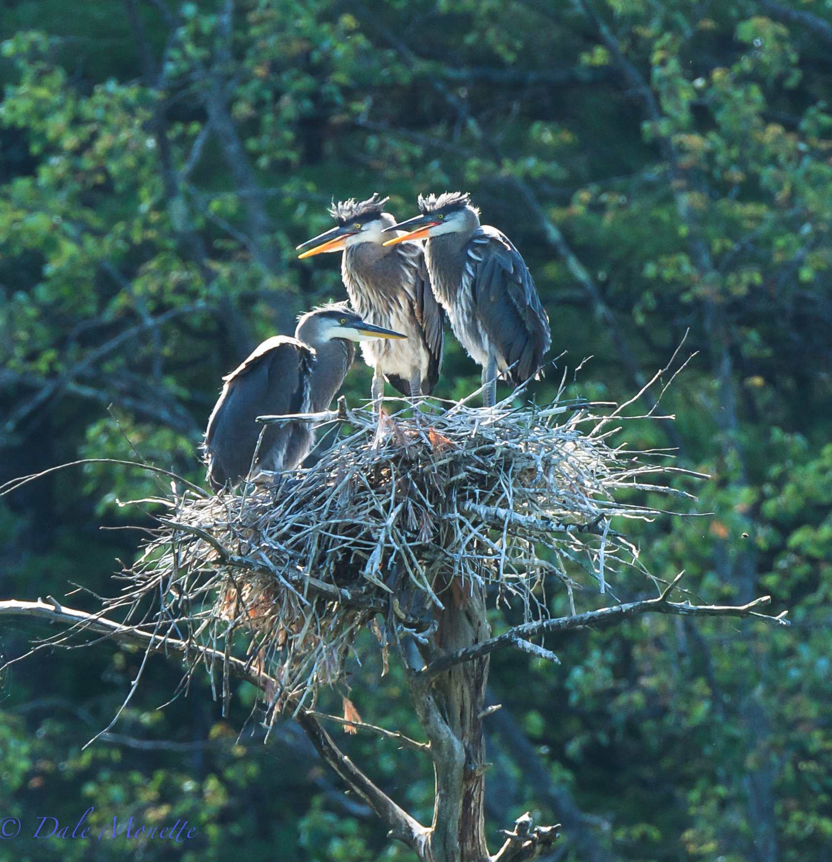 Great blue heron chicks awaiting dinner.  Quabbin watershed.  6/24/15