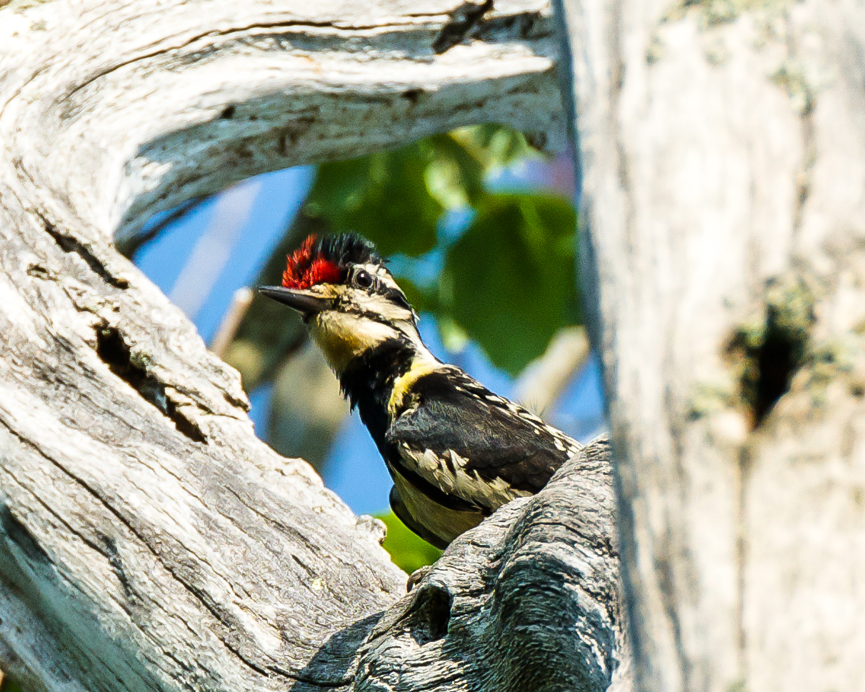 Yellow bellied sapsucker chick