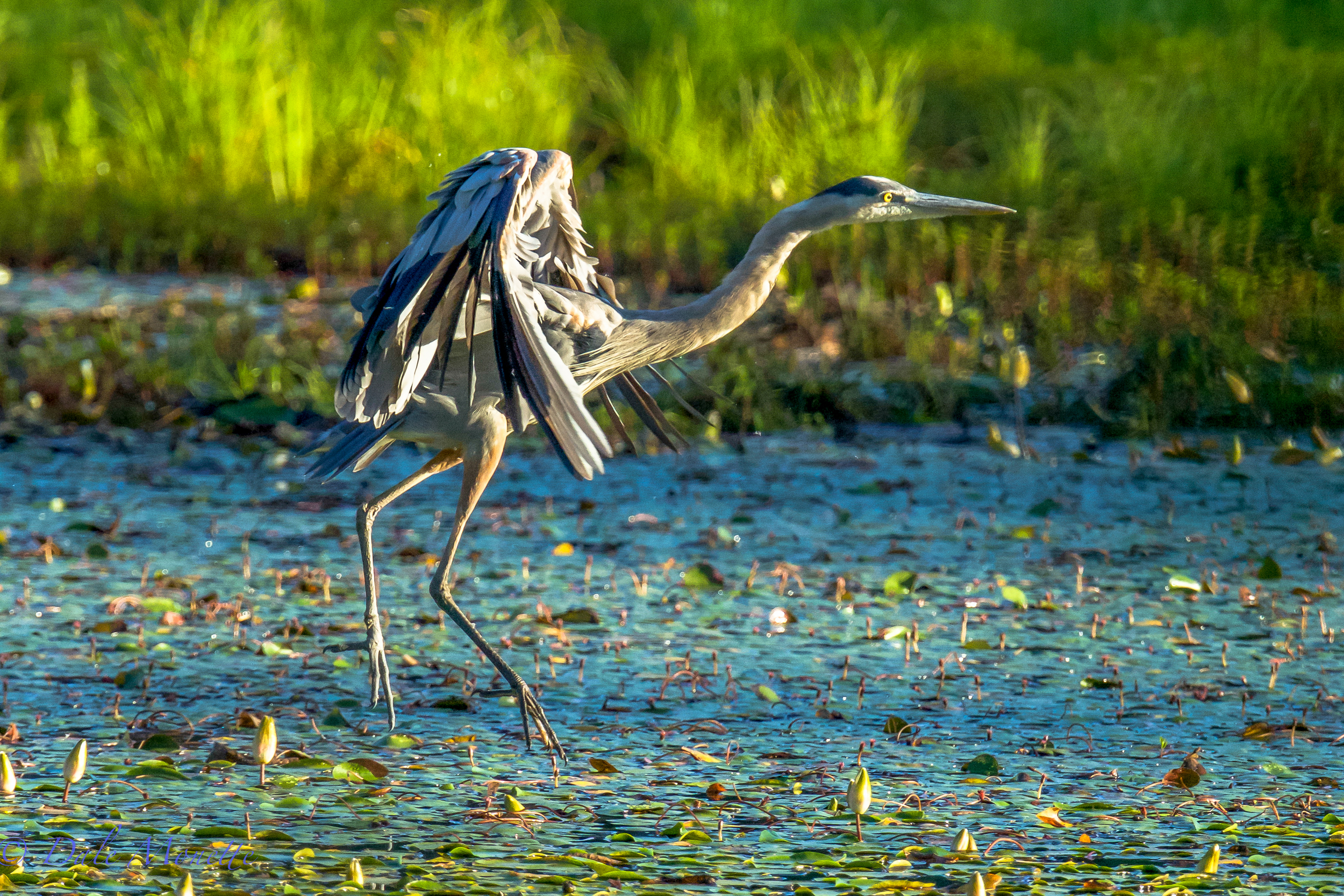 Great blue heron coming in to land. 7/25/15