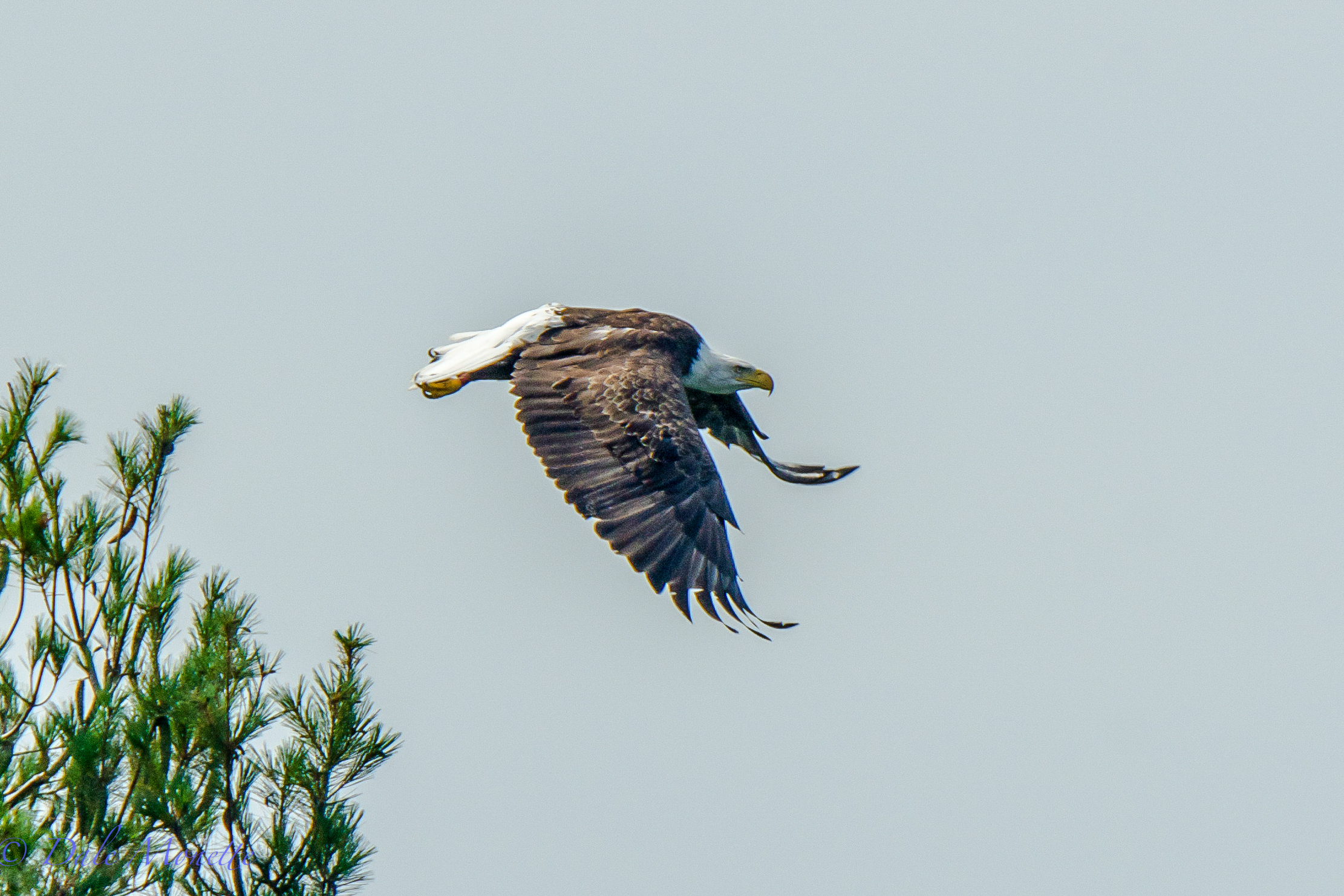 A bald eagle leaps from a small pine tree on a small island at Quabbin.  These hot days they really don't like to fly I'll bet !    7/29/15