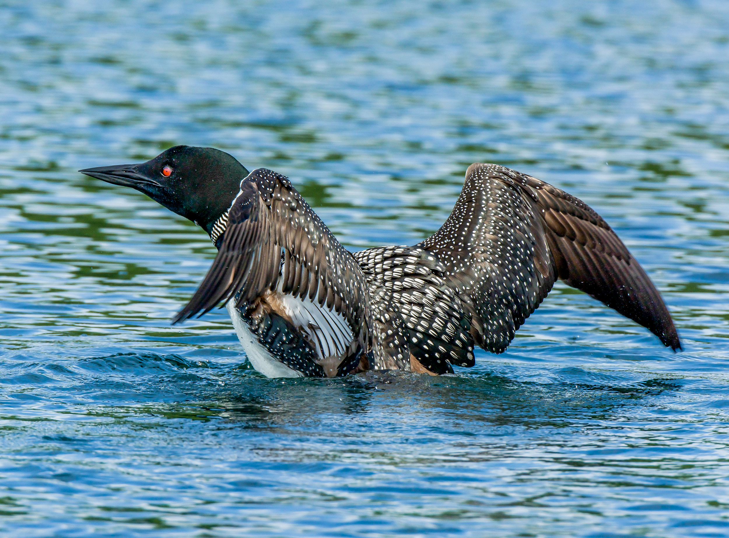 Just like the young ones. This also helps them realign their feathers after preening and diving. 7/29/15