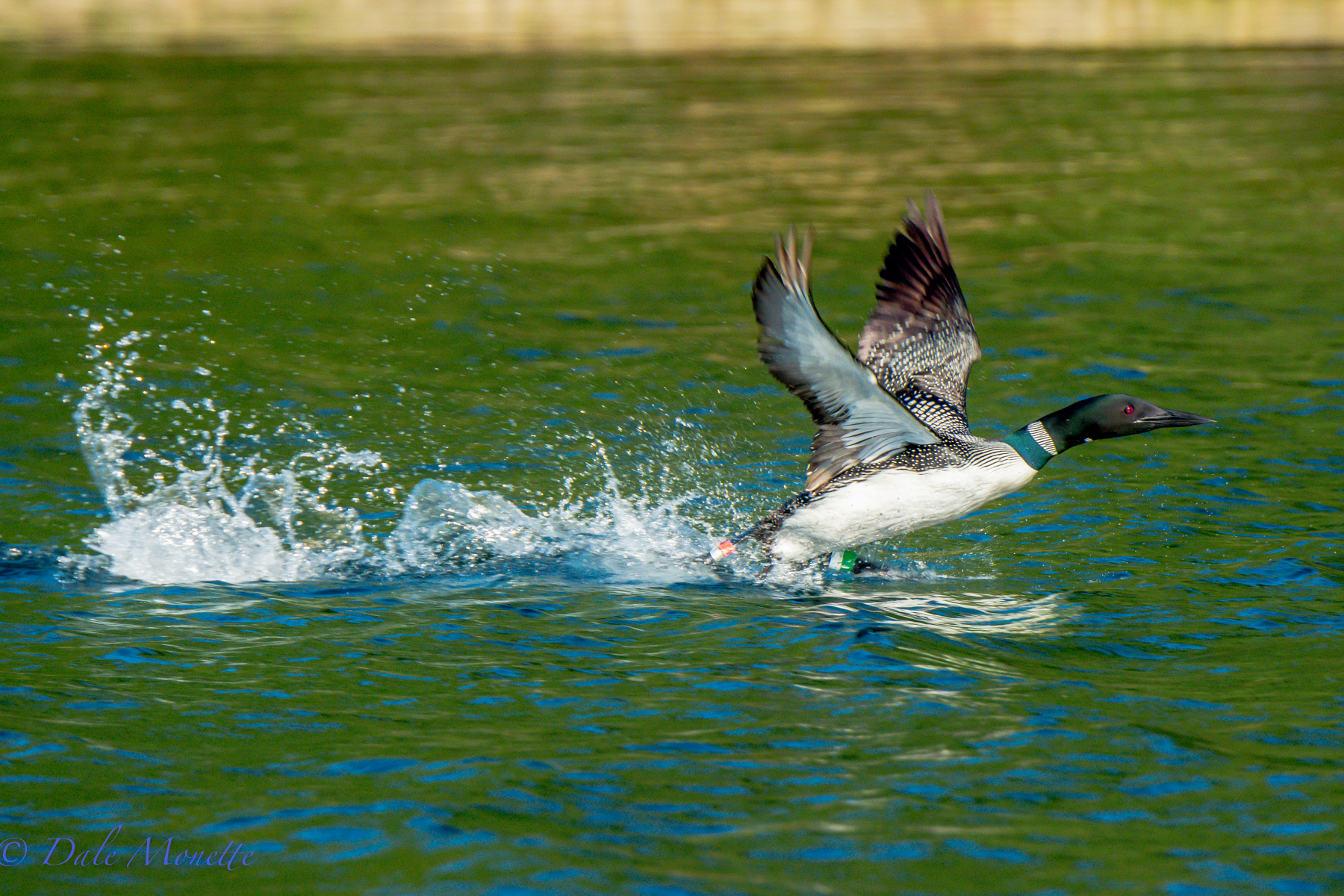 A female loon takes off. It takes a loon about 50 yards to get airborne. Here this female heads back to the male with the two chicks back in their territory at Quabbin. Notice the colored bands on her legs used by researchers for identification. 8/12/15