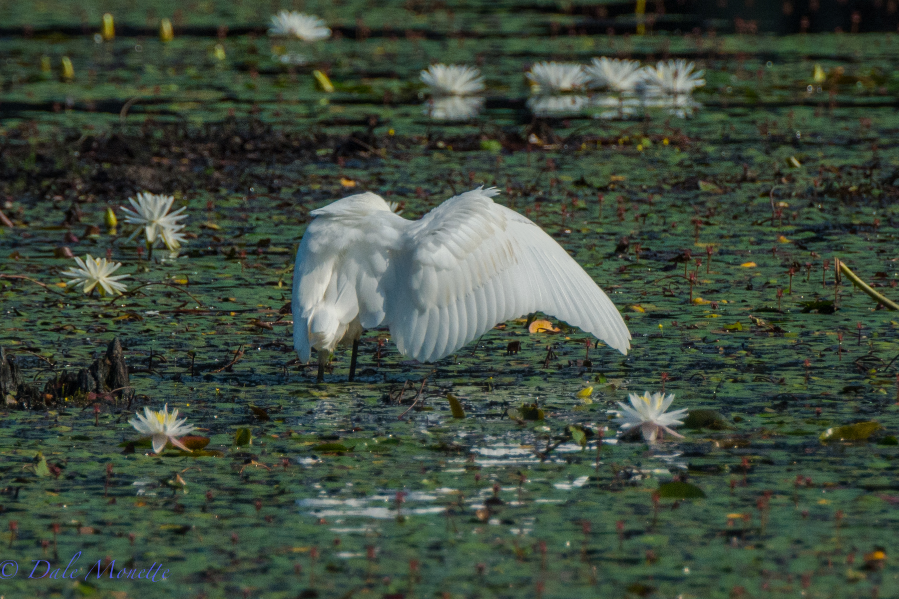 A great egret stretches his wings after preening.   8/18/15