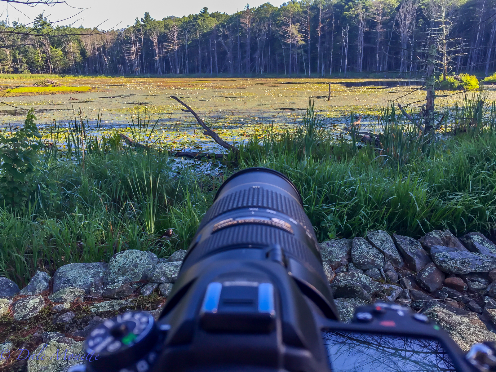 One of the many swamps on the Quabbin watershed.  You don't realize how much life there is in one of these ponds until you sit for a couple hours and just watch the world go by.  8/20/15