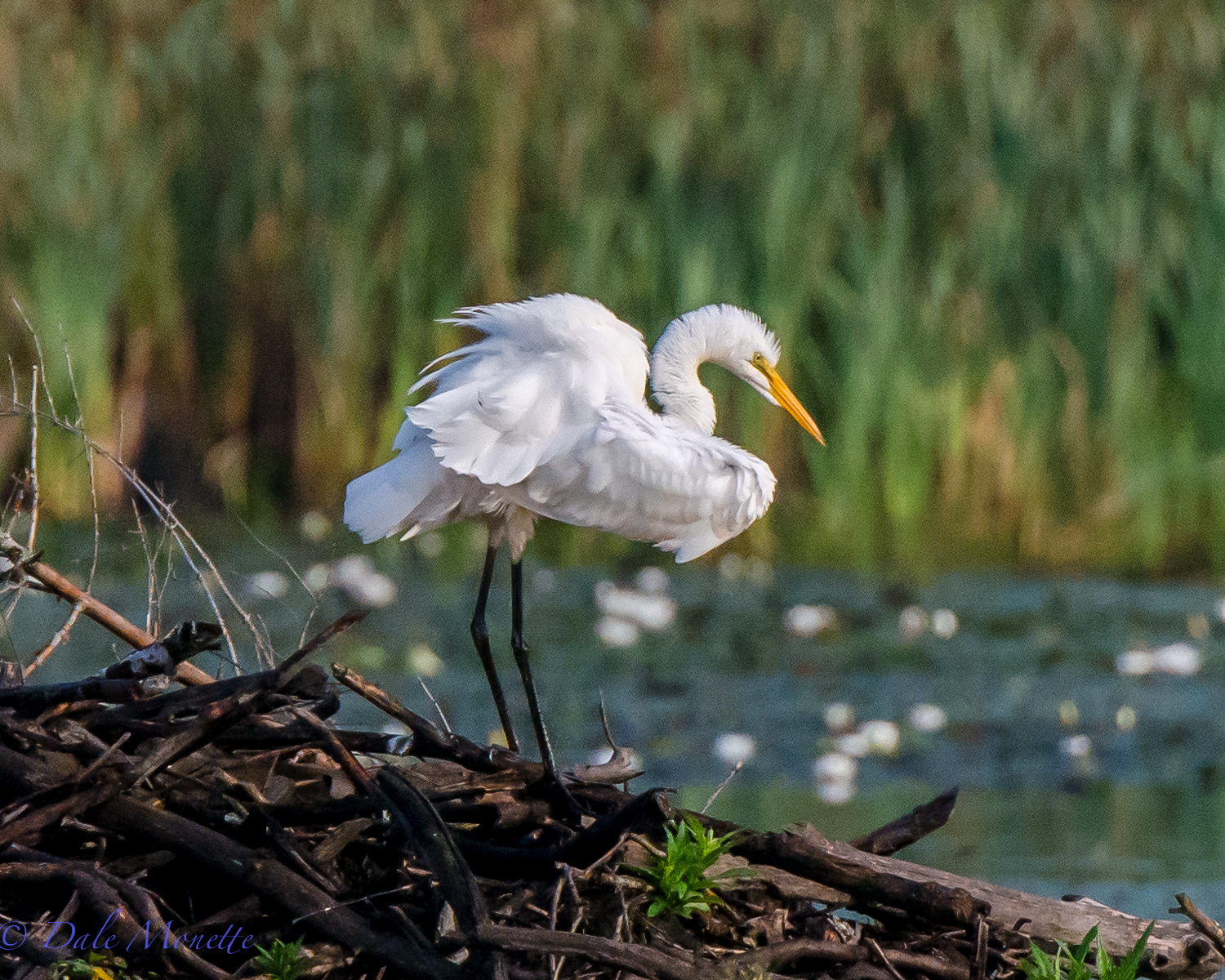 A great egret preens on top of a beaver lodge where he can see the pond while preening. 8/22/15