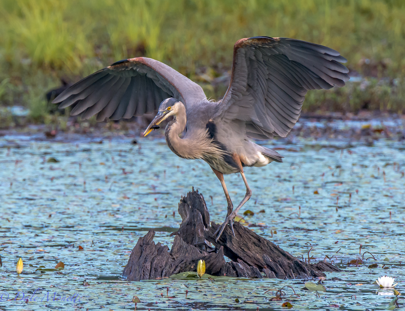 My handsome buddy Gwaark!  the great blue heron has another fish for breakfast today.  8/22/15