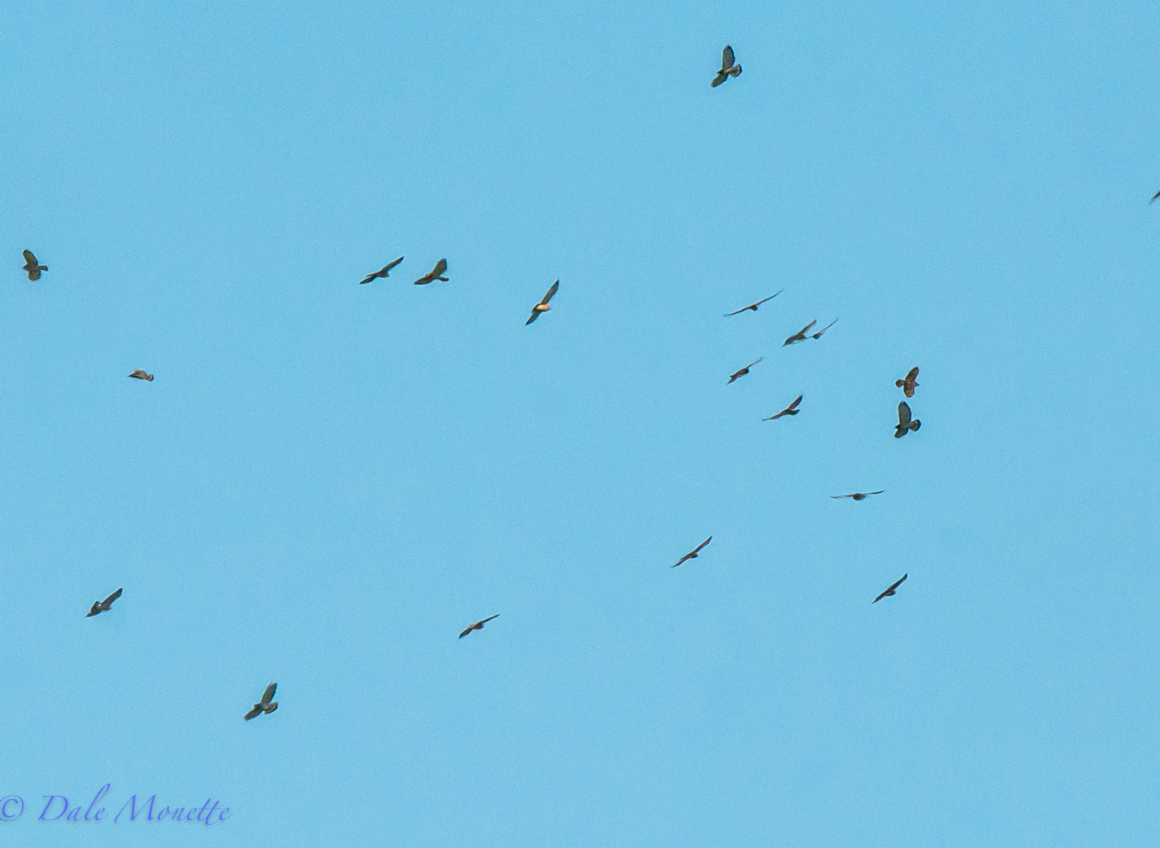 Fall hawk migration