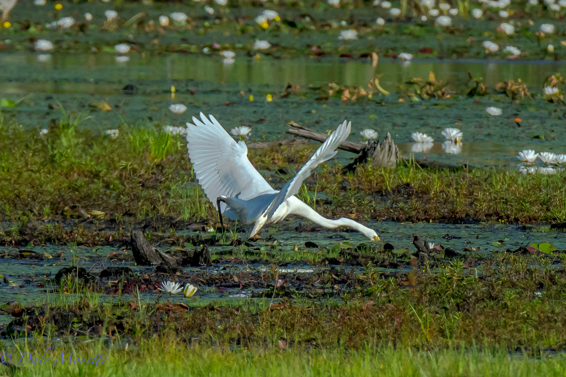 A great egret strikes again !