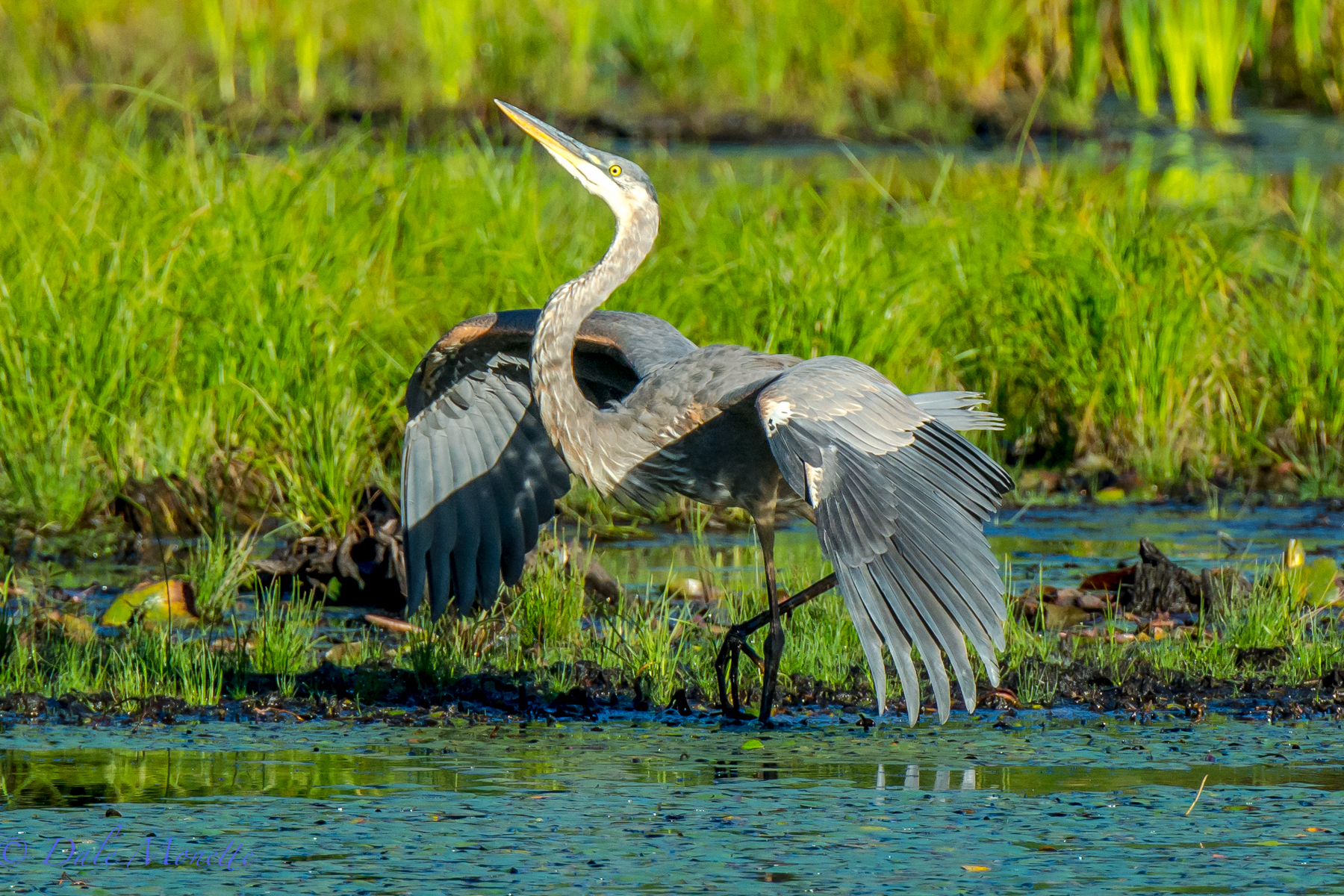A young great blue heron puffs himself up to look bigger to another heron as he defends his fishing yards.