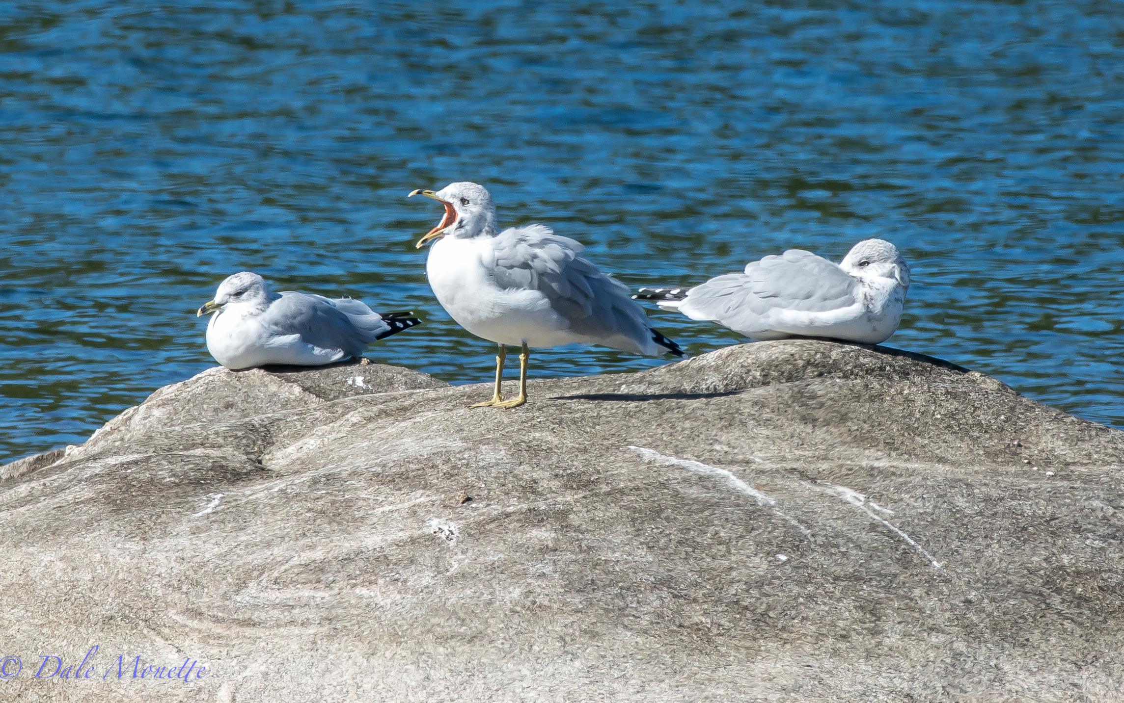 Ring billed gulls are quite common at Quabbin