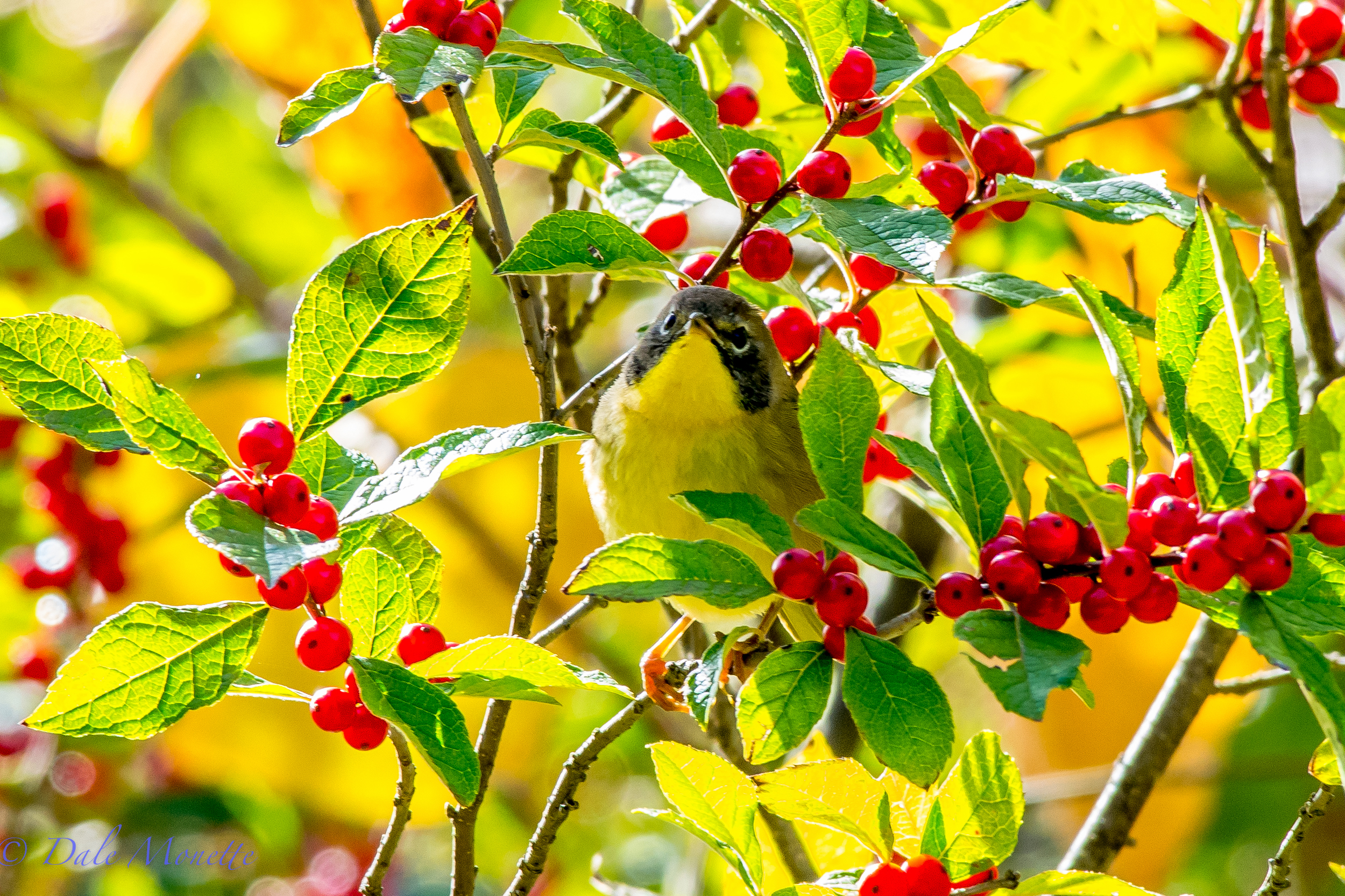 A common yellowthroat rummages through a winterberry bush looking for breakfast in early October.  10/4/15
