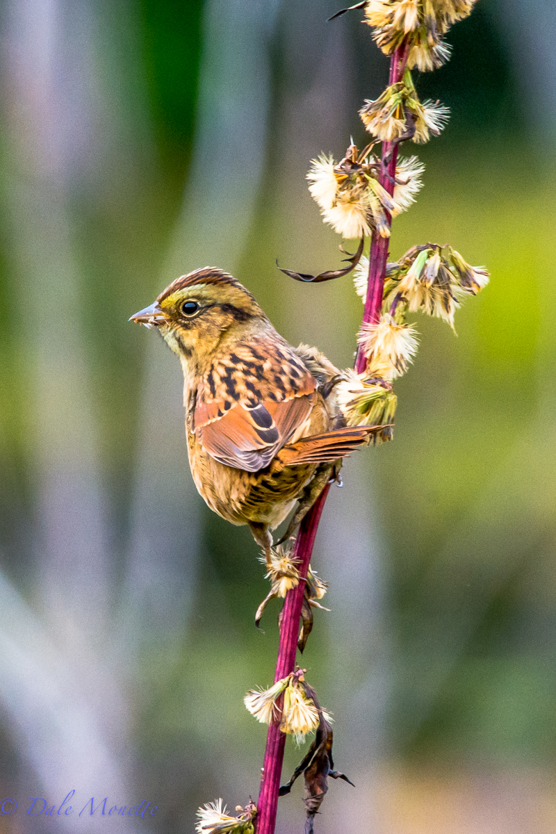 Swamp sparrow also migrating. Found on the power lines running thru northern Quabbin.  10/5/15