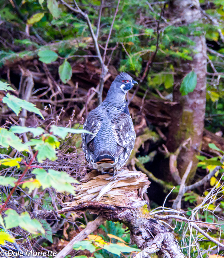 Spruce grouse number three