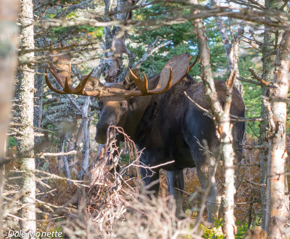 A Cape Breton giant.