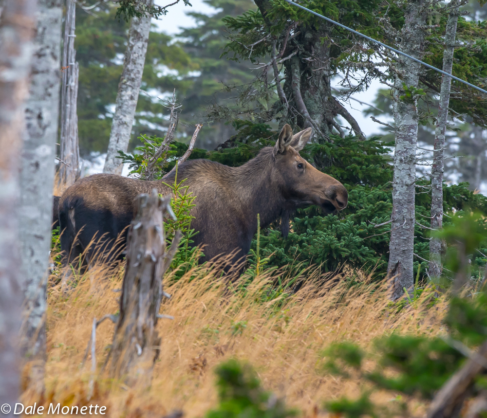 and here is Mom..... moose number four