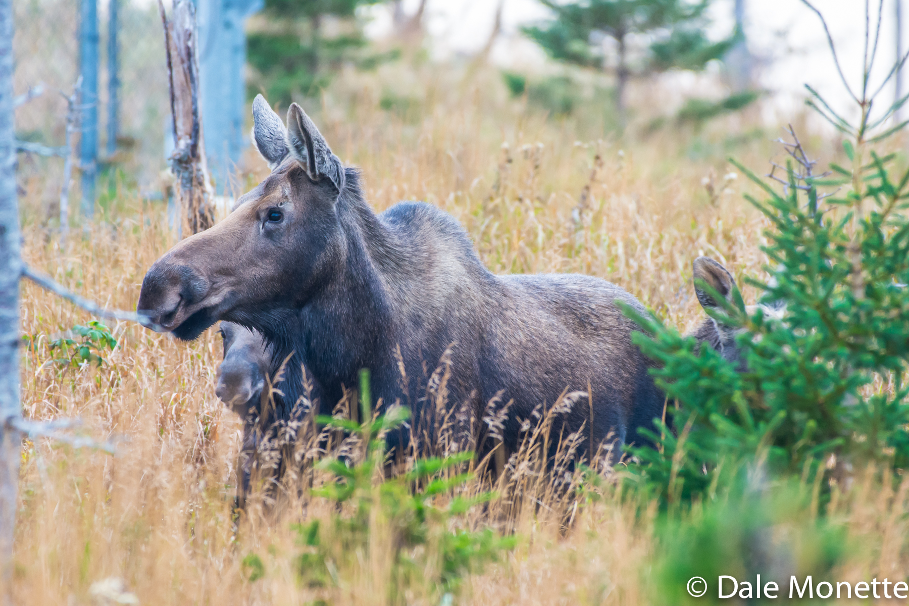 A female moose with her two young in tow on Cape Breton in THe Highlands National Park.  10/20/15