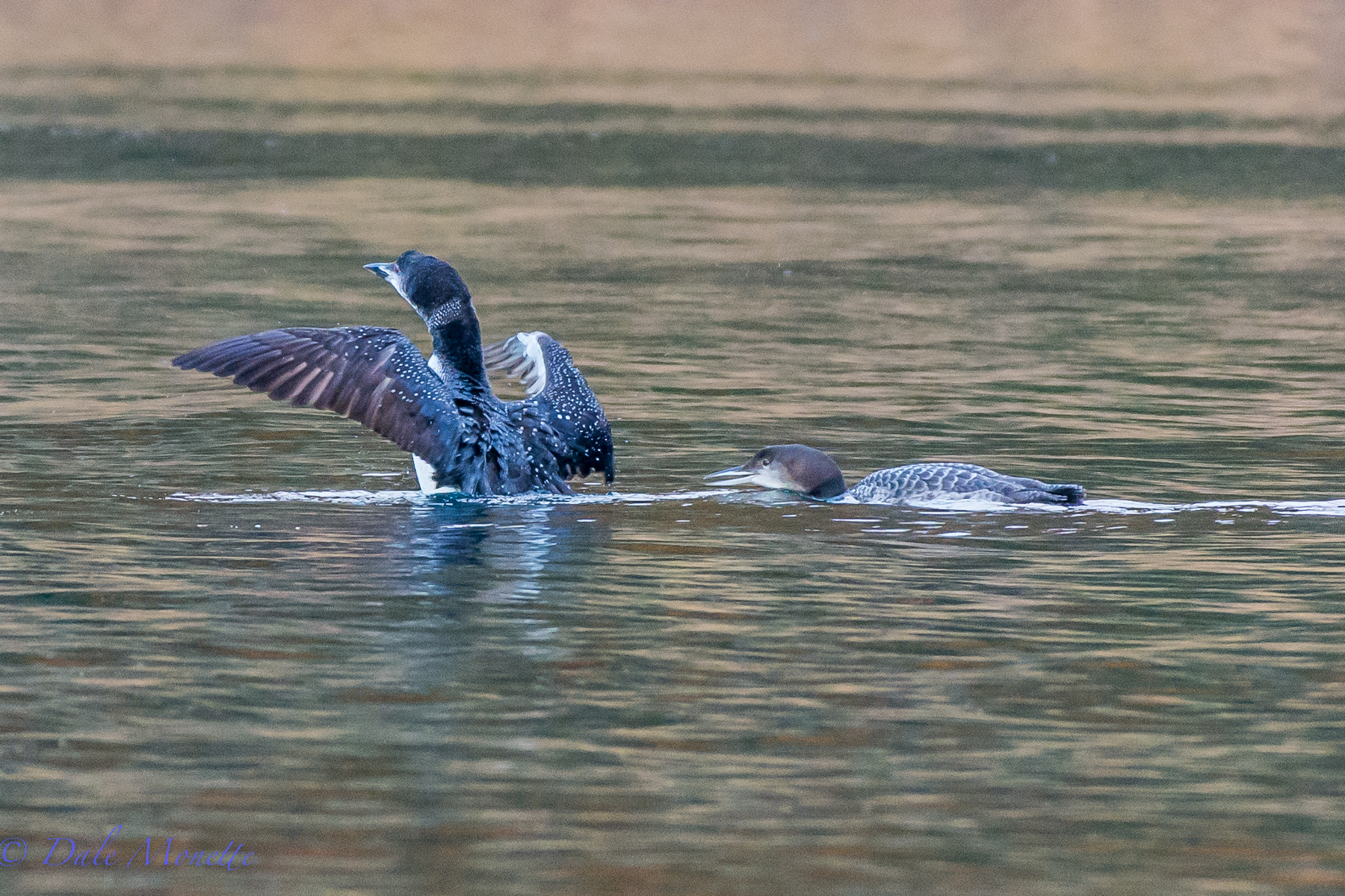 Booth the adult and the chick together early this morning on Quabbin.  10/30/15