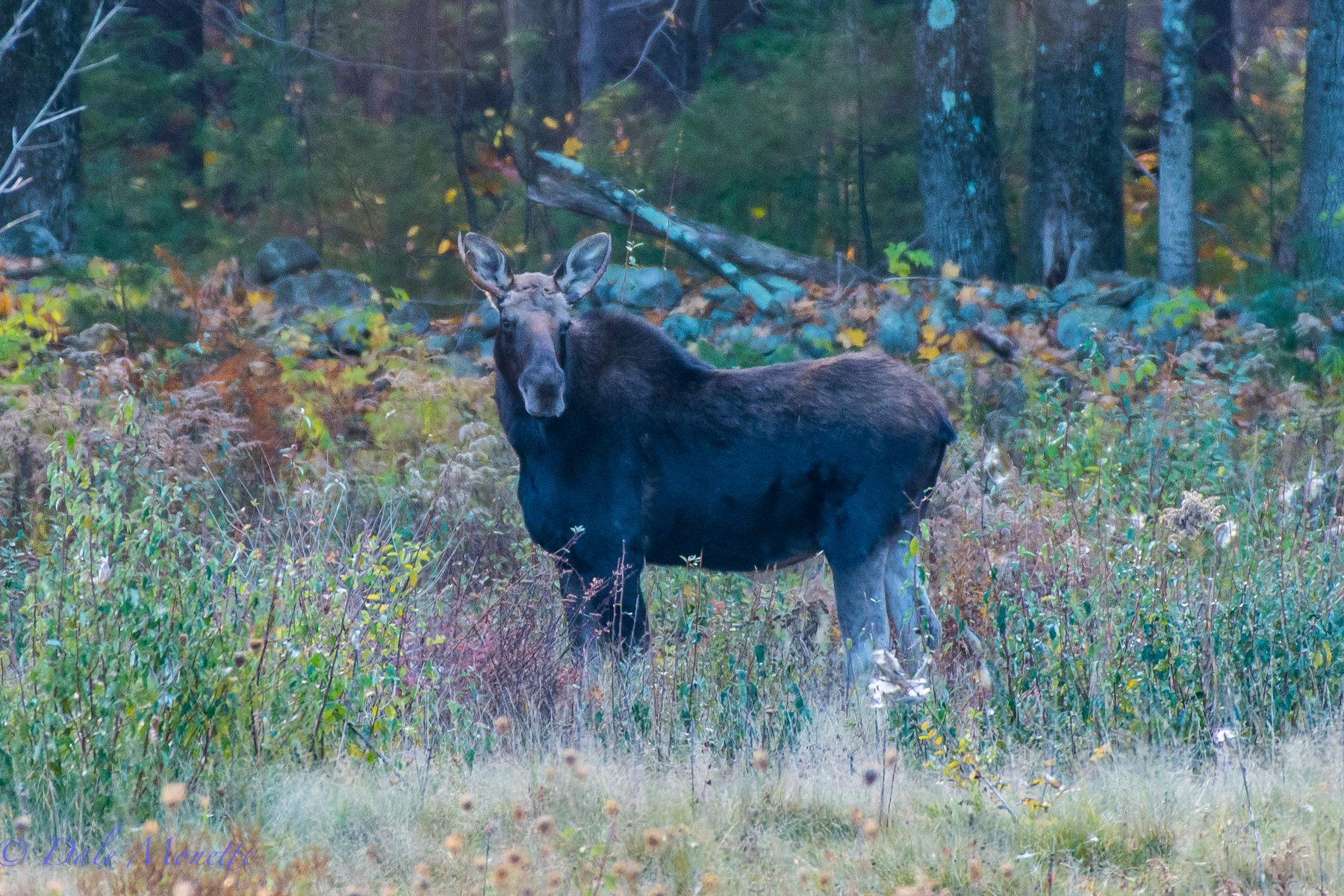 A spike horn bull moose. You have to look hard to see the antlers.