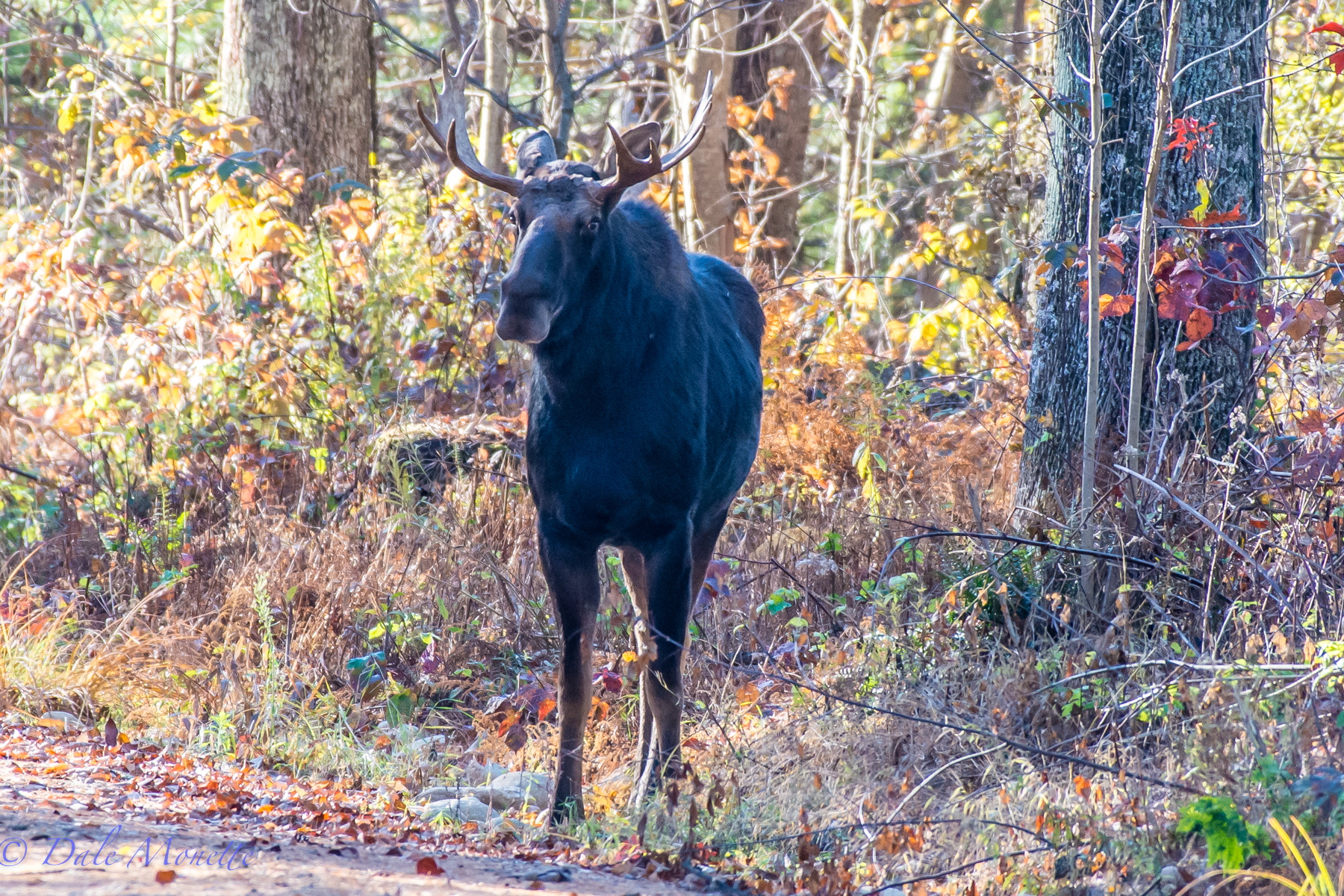 A young bull moose was standing along the roadside. I thought he may be thumbing, or hoofing a ride, but I was wrong.  11/2/15