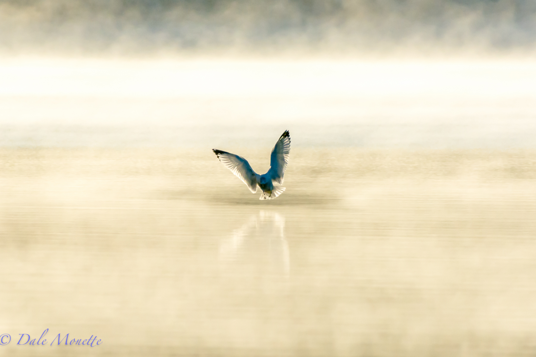 This ring billed gull landed a ways away in the fog this morning in the early sunlight at Quabbin and Bingo !!  Instant photo !!  11/17/15