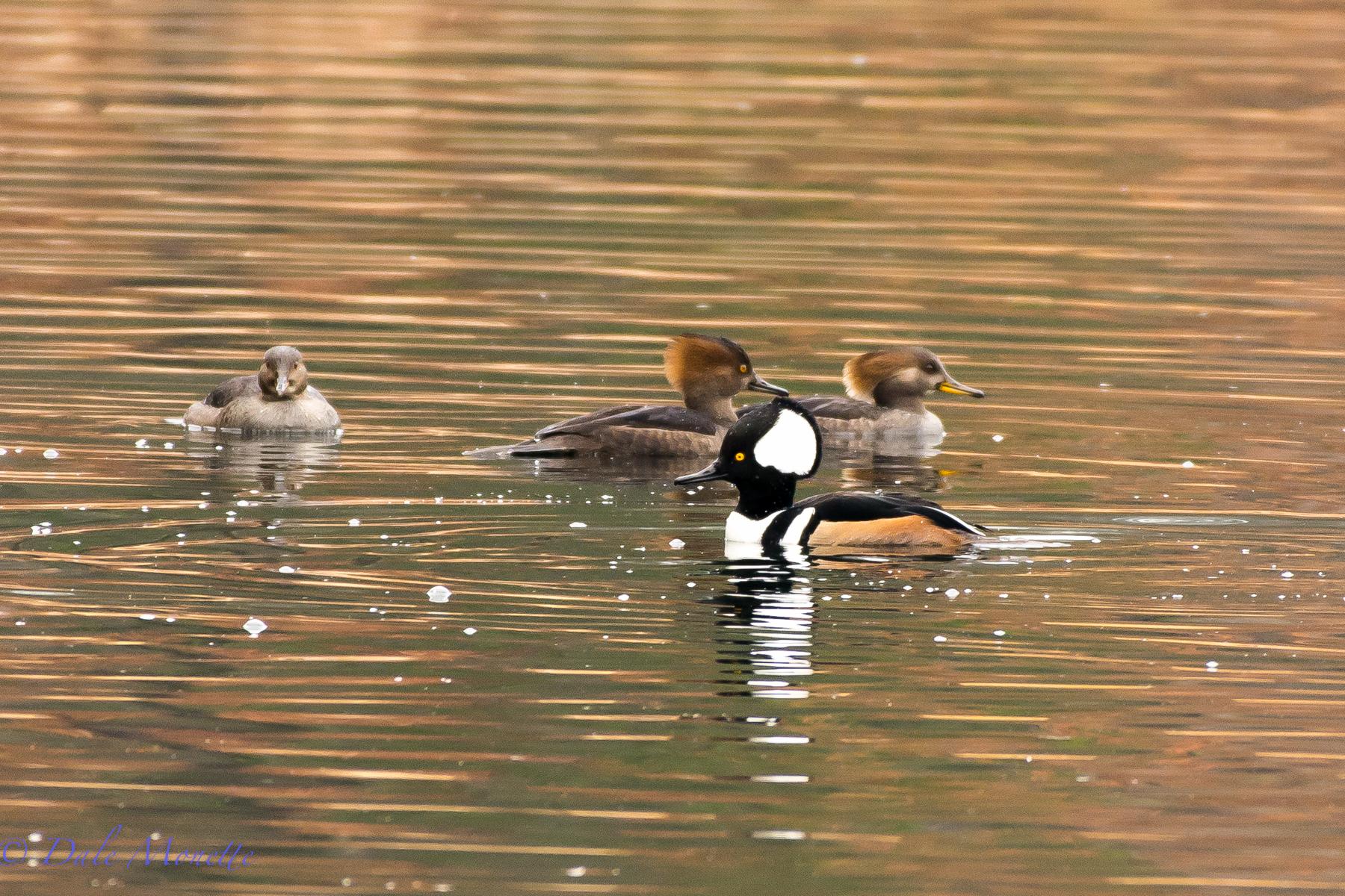 Three female hooded mergansers and one male.  Silver Lake,  Athol MA  12/11/15