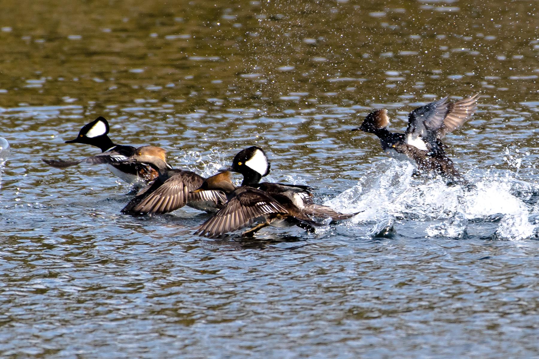 Hooded merganser taking off from Lake Mattawa today, Orange MA.  1/2/16