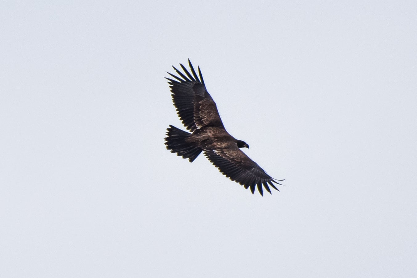 An immature bald eagle soars over northern Quabbin today.