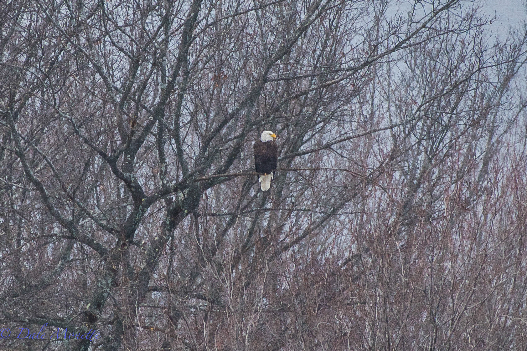 One of the bald eagles from the mating pair surveys their domain in the light snow in northern Quabbin today.  1/14/16