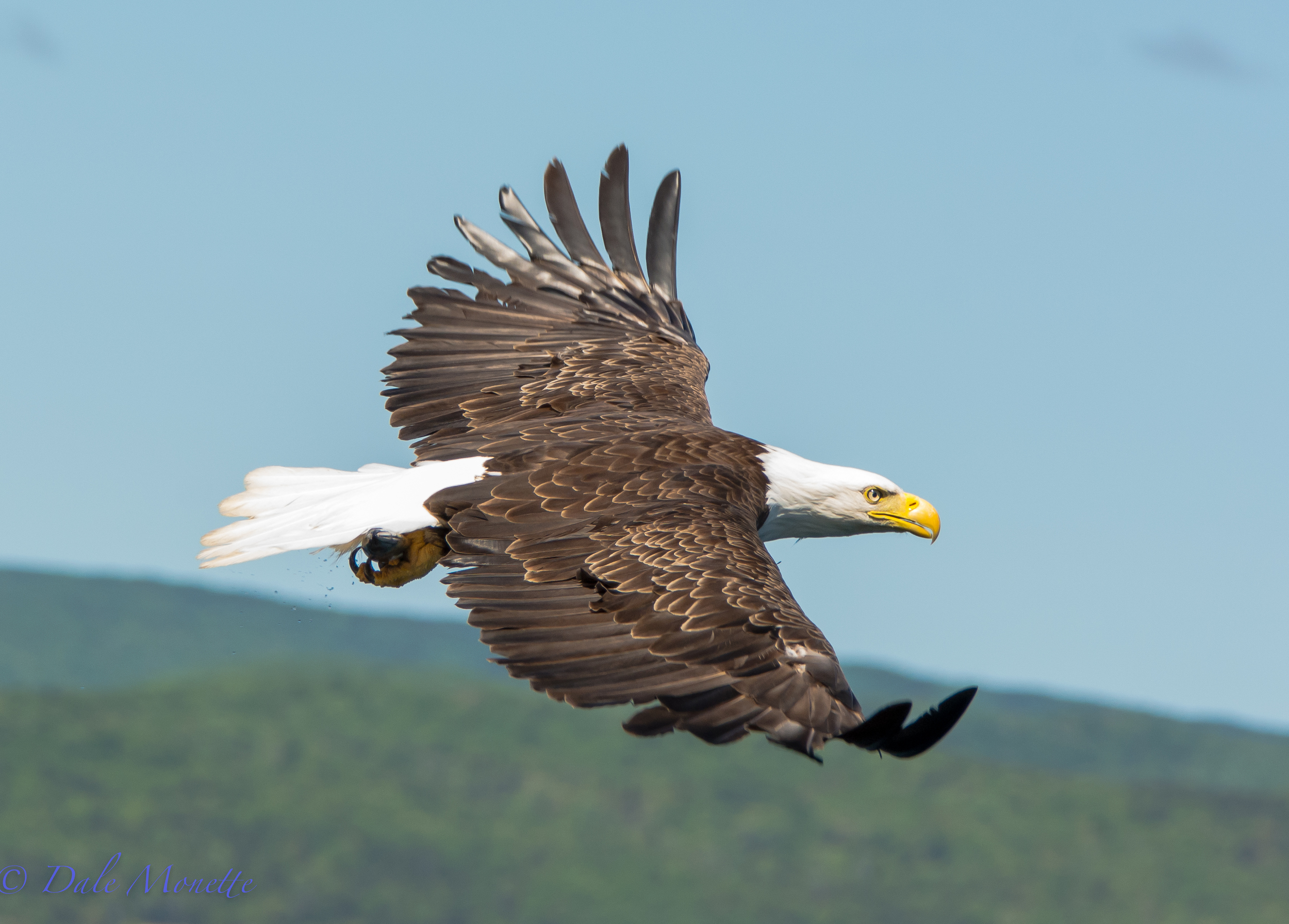 An adult bald eagle clutches a fish he just pulled out of Saint Anne's Bay on Cape Breton Island, Nova Scotia in June of 2015