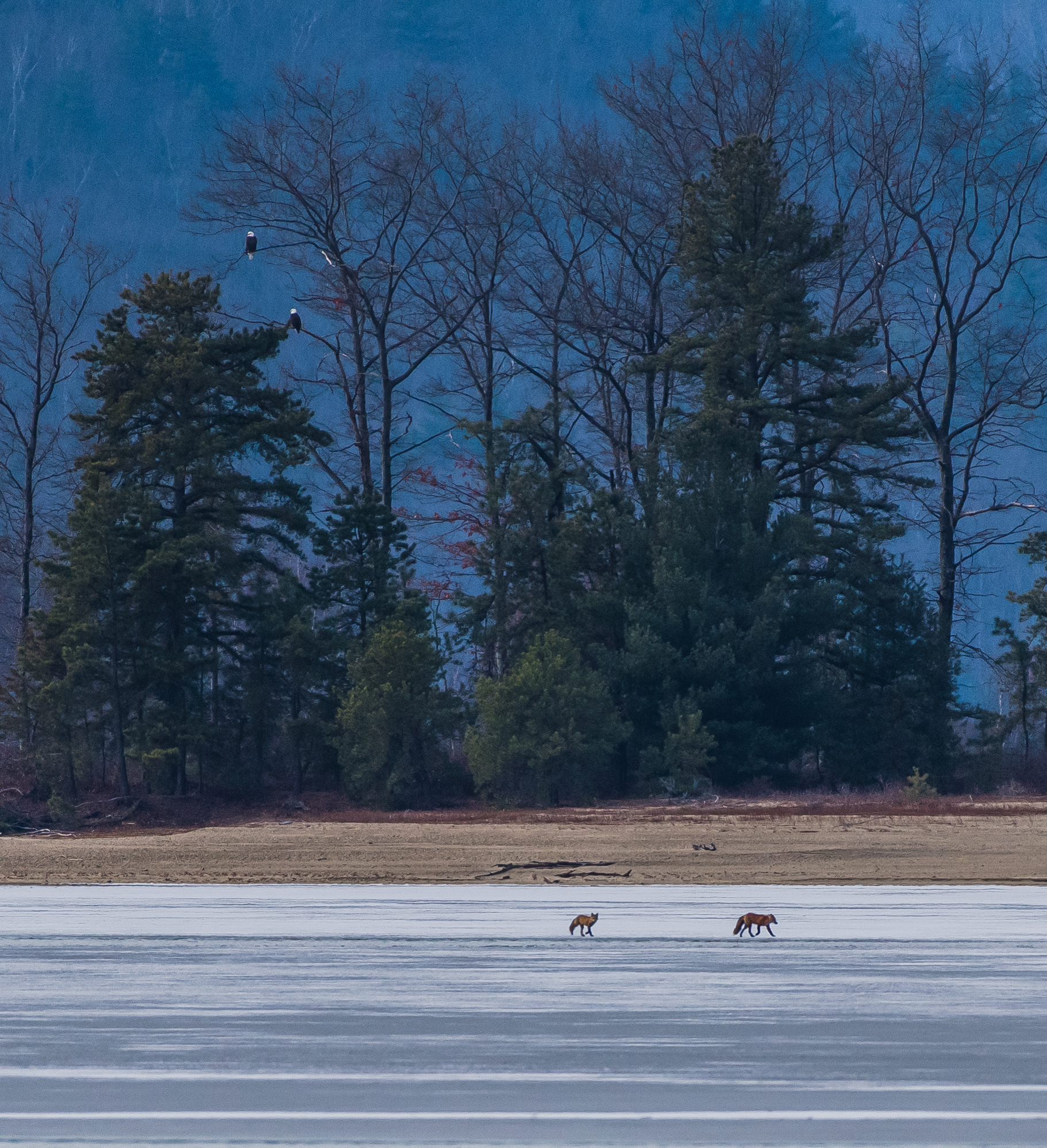 This morning I found these 2 red foxes traveling all over the ice on the northern Quabbin.  Here they are running under a pair of bald eagles !  1/30/16