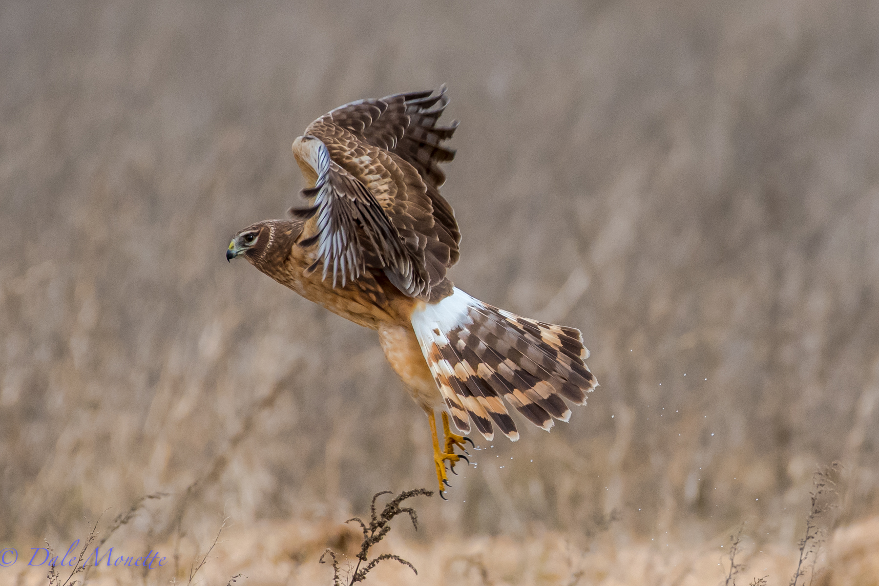 I cant get enough of these beautiful hawks.  A female northern harrier at Arcadia today lifts off from a small wet area she was sitting in.  She landed 35 yards away and stayed there for a few seconds while I had her in my sights focused until she lifted off.  This is the results !!  2/4/16