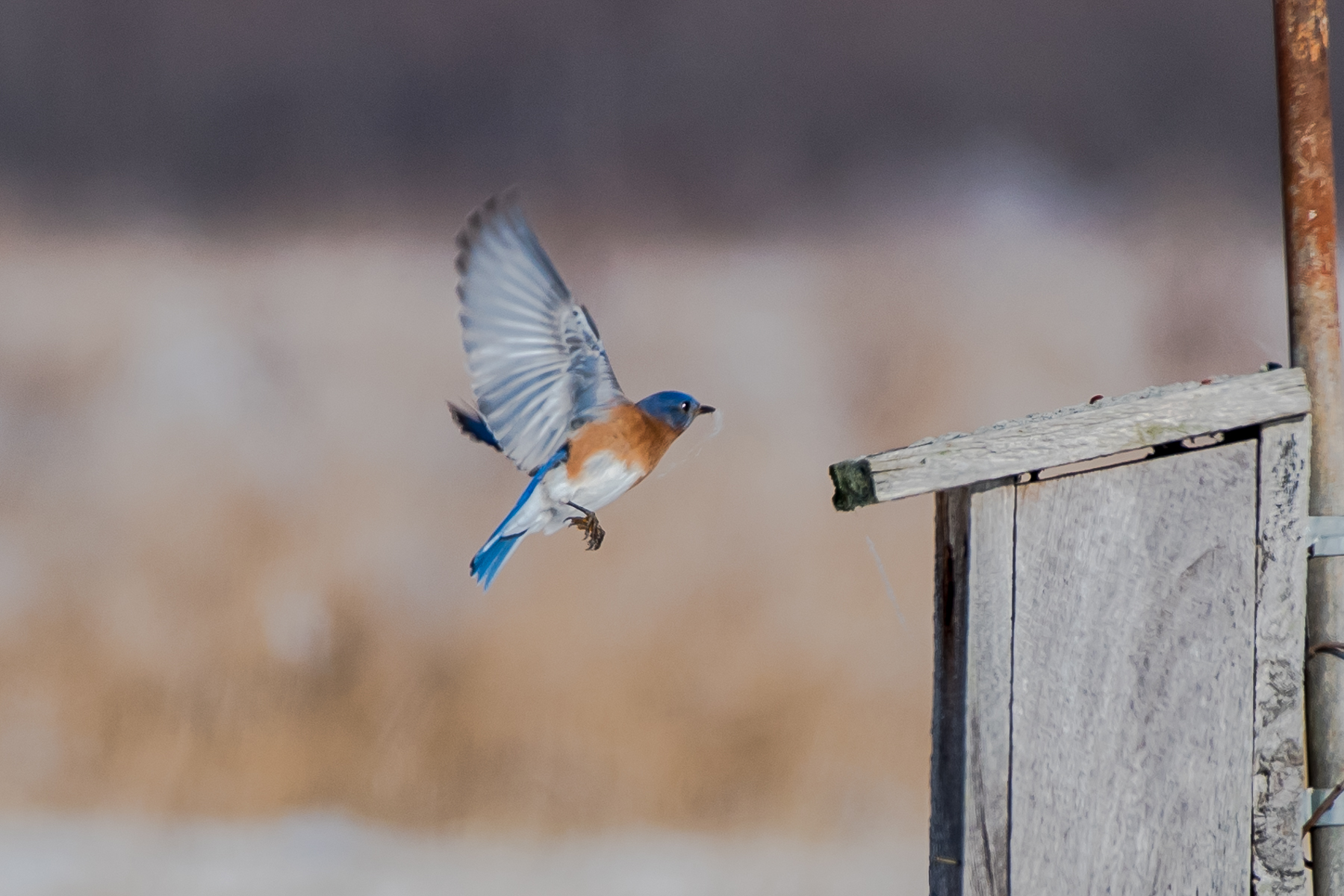 The bluebirds were very active today at Massachusetts Audubon Bird Sanctuary in Easthampton. here is a male already carrying nesting material to a box....... 2/7/16