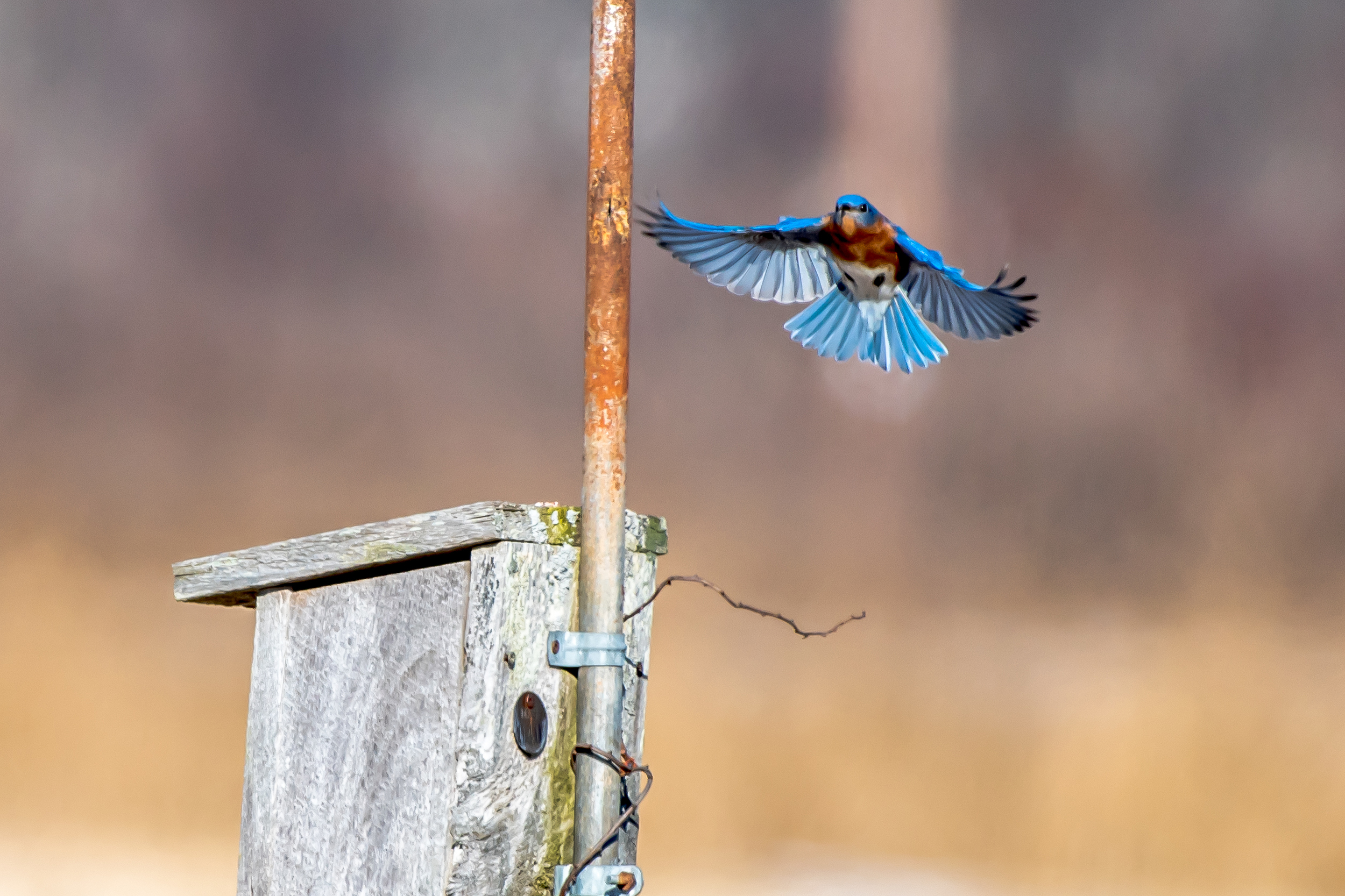 A male bluebird landing on a house he and his mate were looking over today at Arcadia Bird Sanctuary in Easthampton MA.  2/19/16