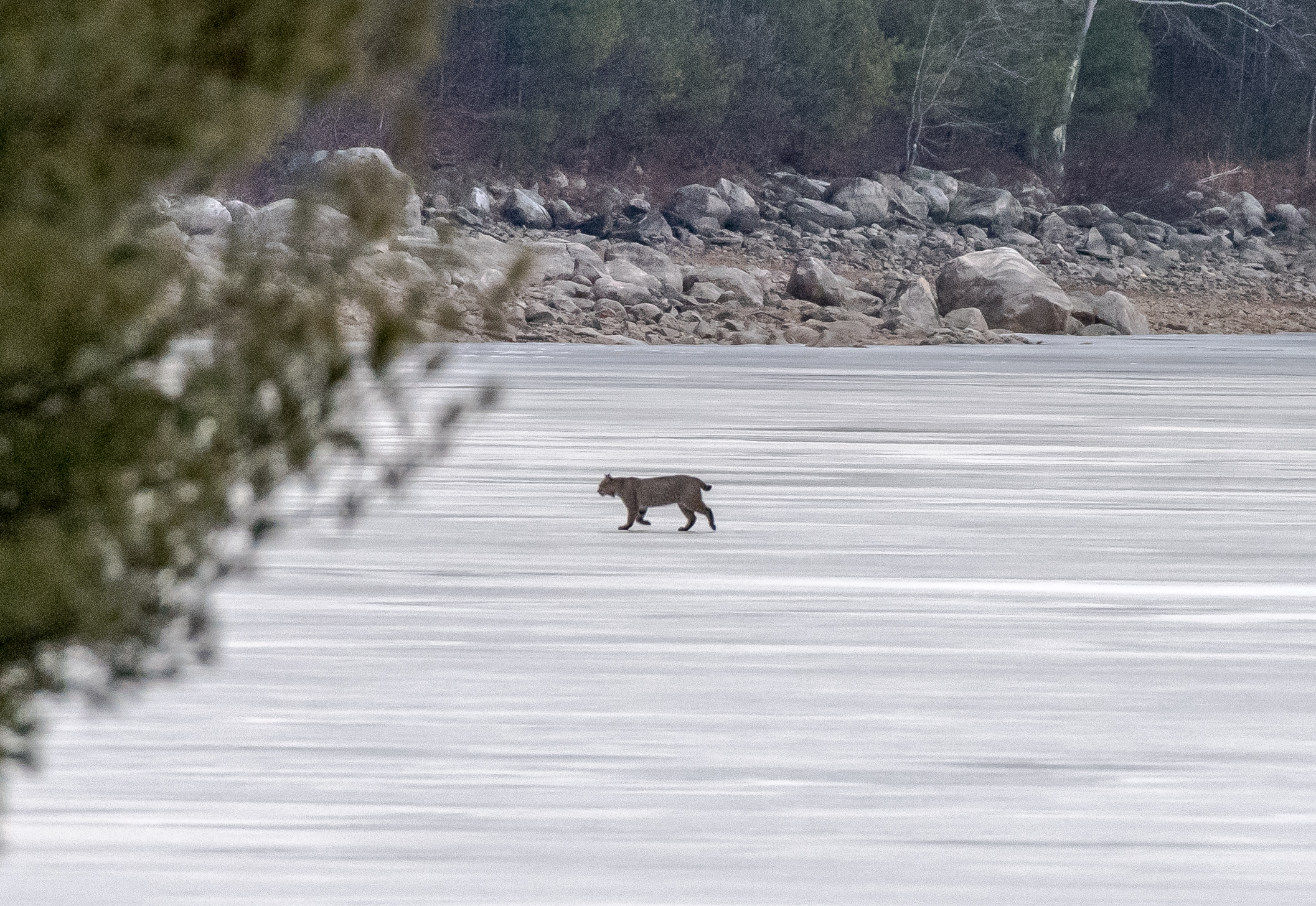 You never know what to expect at Quabbin.  As I  was about to leave this morning a bobcat walked across the ice in front of me!  2/23/16