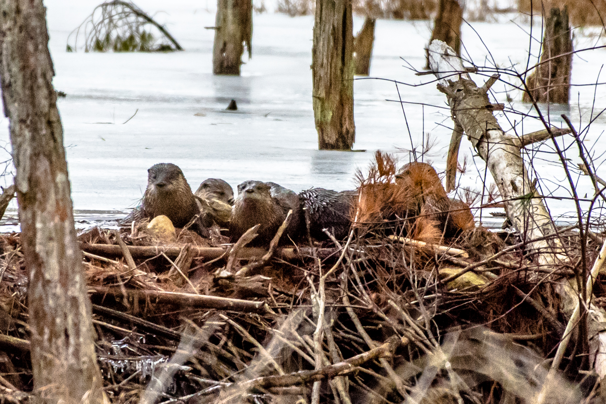 I took a family portrait of 5 river otters early this morning. Its always great fun to watch one or two but there was probably 2 adults and 3 young ones from last spring for a total of 5. What a blast!  Did you know rivers otters have 1 million hairs per square inch of skin? Thats how they can keep warm in ice cold water.  2/23/16