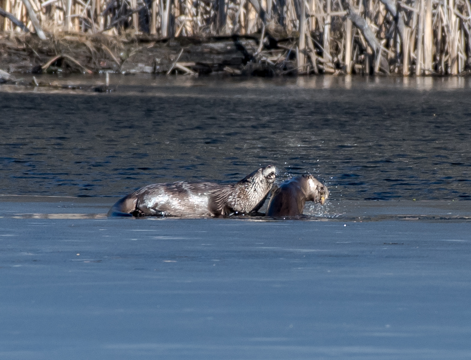 I spotted these two river otters feeding on fish early this morning in one of my favorite ponds. As I was watching one up popped the other with a fish and shook it very vigorously ...... 2/26/16