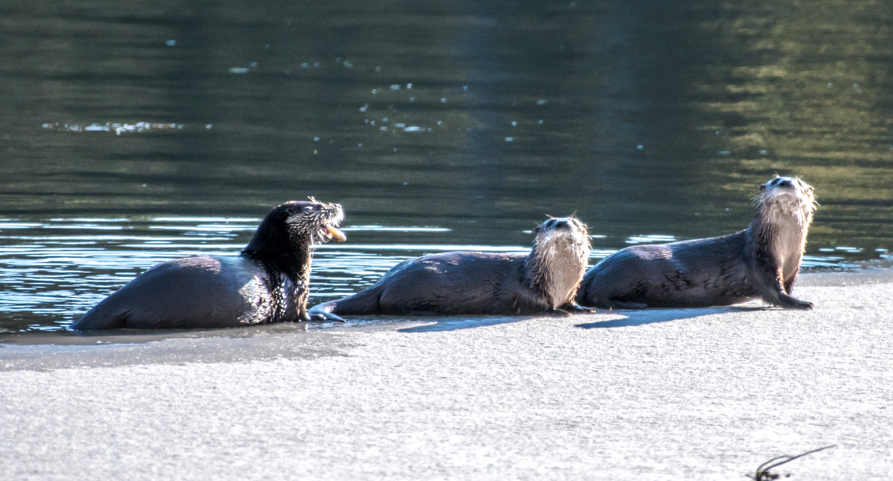 I stumbled upon 3 more otters out fishing and playing this morning.
